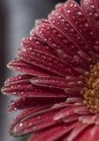 Pink herbera flower Stock Photos