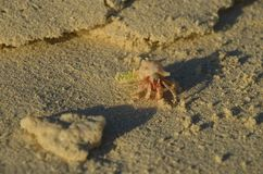 Pink hermit crab behind the coral. At the beach Royalty Free Stock Photos
