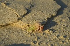 Pink hermit crab with big eyes. Running away Royalty Free Stock Photos