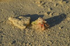 Pink hermit crab near the coral. At the beach Royalty Free Stock Photo