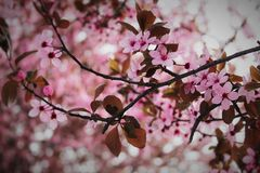 Pink Сherry blossom Royalty Free Stock Photo