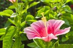 Pink hibicus flower Royalty Free Stock Images