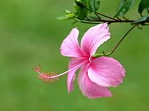 Pink hibicus Stock Images