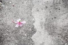 Pink hibicus flower Stock Photo