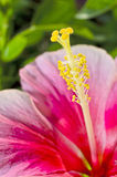 Pink hibicus flower macro Royalty Free Stock Photo