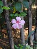 Pink Hibiscis Stock Image