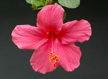 Pink Hibiscus Royalty Free Stock Image