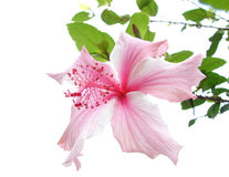 Pink Hibiscus. An isolated image of a wild flower stock photography