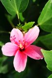 Pink hibiscus. Clous-up of Beautiful pink hibiscus Stock Images
