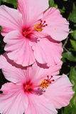 Pink Hibiscus. Two perfectly shaped pink hibiscus Stock Photos