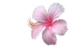Pink hibiscus stock images
