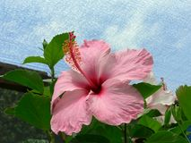Pink Hibiscus. Flower and foliage against blue sky Stock Image