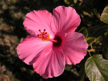Pink Hibiscus. A pink Hibiscus stands as a solitary example of this exotic flower stock photos