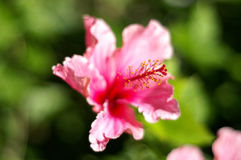 Pink Hibiscus. Detail of the pistil of a Hibiscus flower; blossom out of focus; concentration on tip of pistil Stock Photos