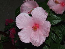 Pink Hibiscus. Big pink and white hibiscus flower Stock Photography