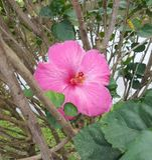 Pink hibiscus bloom in Hawaii Stock Image