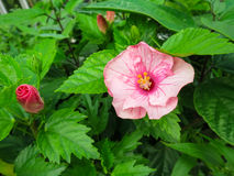 Pink Hibiscus blooming and budding flowers among fresh green lea Royalty Free Stock Images