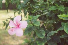 Pink Hibiscus Blossom China Rose flower, Malvaceae. Flower Royalty Free Stock Images