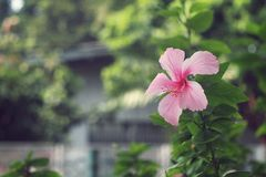 Pink Hibiscus Blossom China Rose flower, Malvaceae. Fresh Pink Hibiscus Blossom China Rose flower, Malvaceae Royalty Free Stock Photography