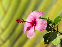 Pink Hibiscus blossom Royalty Free Stock Images