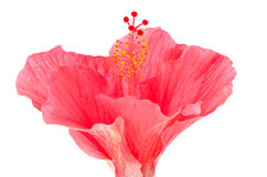 Pink hibiscus blossom detail Royalty Free Stock Photography