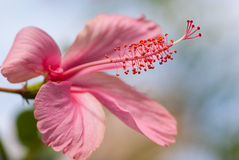 Pink hibiscus. With blue sky background Royalty Free Stock Images
