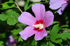 Pink Hibiscus on branch Royalty Free Stock Photo