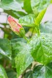 Pink hibiscus bud. Royalty Free Stock Photos