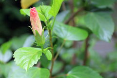 An pink hibiscus buds in a garden. An pink hibiscus buds with leaves in a garden Stock Photos