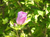 A pink hibiscus button. On a fir green background Royalty Free Stock Photos