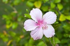 Pink Hibiscus. Stock Photos