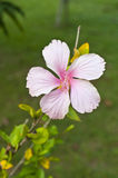 Pink Hibiscus. Royalty Free Stock Images