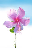 Pink hibiscus. Closeup of pink hibiscus isolated sky background Stock Images