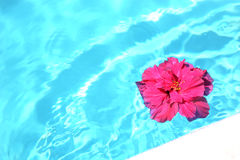 Pink Hibiscus Floating Royalty Free Stock Images