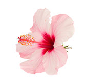 Pink hibiscus flower. Isolated on white background Royalty Free Stock Images