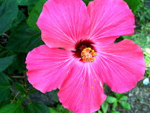 Pink Hibiscus flower. A close up shot of a hibiscus flower in the garden royalty free stock images