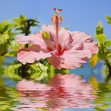 Pink hibiscus flower above the water. Macro of pink hibiscus flower (Hibiscus rosa-sinensis) above the water with reflection on blue sky background, digital Royalty Free Stock Photography