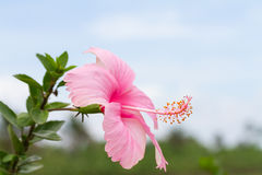 Pink hibiscus flower against blue sky Royalty Free Stock Image