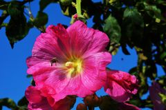 Pink hibiscus flower with bee royalty free stock photo