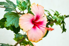 Pink hibiscus flower. Big Beautiful pink hibiscus flower Stock Photo