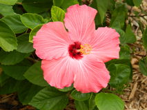 Hibiscus Royalty Free Stock Photography