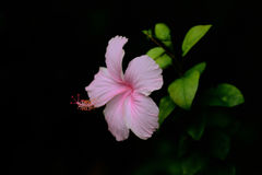 Pink hibiscus flower blooming in garden. Royalty Free Stock Photography