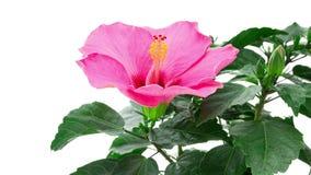Pink hibiscus flower blooming timelapse stock video footage