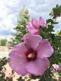 Pink hibiscus flower Stock Photography