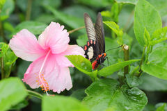Pink hibiscus flower and butterfly in nature. Royalty Free Stock Images