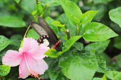 Pink hibiscus flower and butterfly in nature. Stock Image