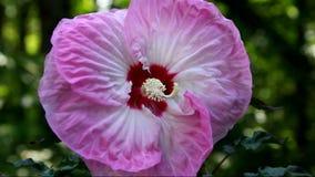 Pink Hibiscus flower stock video