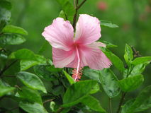 Pink hibiscus flower. Closeup of a pink hibiscus flower in bloom with a leafy green background Royalty Free Stock Image