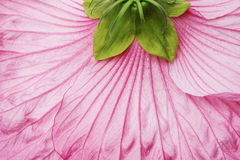 Pink hibiscus flower - detail Stock Photography