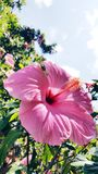 Pink hibiscus flower garden lei tropical Stock Photography